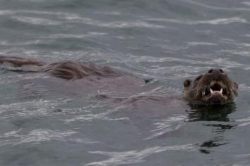 On the trail of the elusive otter